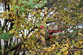 Berberis vulgaris in Fiss, Tyrol 02.JPG