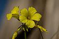 Bermuda Buttercup (Oxalis pes-caprae) (8398456121).jpg
