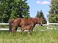 Bestineo Standartbred foal.jpg