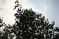 Betula platyphylla var. japonica 1zz.jpg