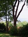 Bewässerungsschläuche an Baum bei Tiefbauarbeiten DSCF7667.jpg