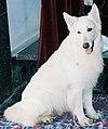 Biały owczarek szwajcarski h8.jpg