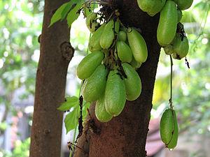Mayyanad - Bilimbi Fruits at Mayyanad