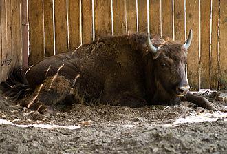 Американский степной бизон в Приокско-террасном заповеднике