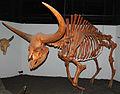 Bison latifrons fossil buffalo (Pleistocene; North America) 1 (15257877377).jpg