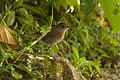 Black-billed Nightingale-Thrush - Panama H8O0884 (17233167012).jpg