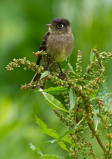 Black-capped Flycatcher.jpg
