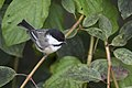 Black-capped chickadee bent of the river (29342726122).jpg
