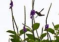 Black-crested Coquette 1.jpg