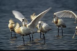 Black-faced spoonbill.jpg