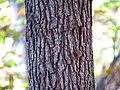 Black Oak (30784849661).jpg