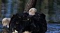 Black Swan and Cygnets (30308986525).jpg