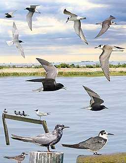 Black Tern from the Crossley ID Guide Britain and Ireland