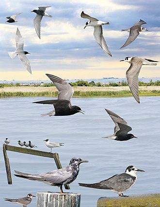 Black tern - ID composite