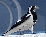 Black and White Bird (30738756730).jpg