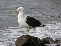 Black backed gull.jpg