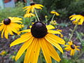 Black eyed susan (9609539316).jpg