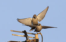 Black faced woodswallow 7.jpg