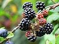 Blackberries, Swindon and Cricklade Railway - geograph.org.uk - 549615.jpg