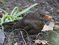 Blackbird in Madrid (Spain) 32.jpg