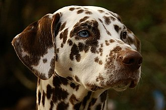 Dalmatian dog - Blue and brown-eyed Dalmatian