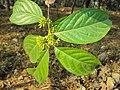 Blepharistemma serratum at Periya (6).jpg