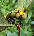 Blepharistemma serratum fruits 16.JPG