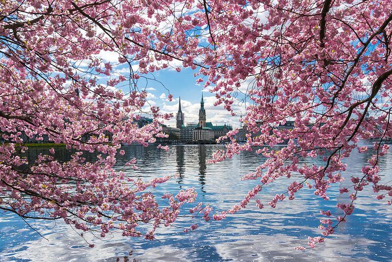 Blick auf Binnenalster durch japanische Kirschblüten.jpg