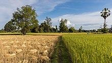 Culture du riz wikip dia - Quelle quantite de riz par personne ...