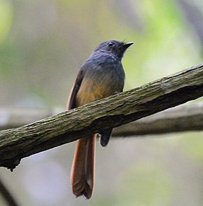 Description de l'image Blue-headed Fantail (Rhipidura cyaniceps) (7187399834).jpg.