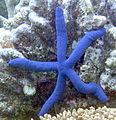 BlueSeaStar 2.jpg