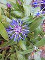 Blue Centaurea Montana (Belgium).jpg