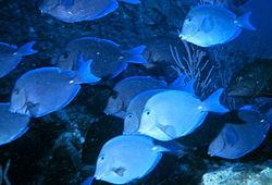 Blue Tang.jpg