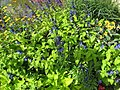 Blue flowered Salvias (6163953431).jpg