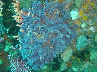 Spongivore - Turret sponge, eaten by some spongivores.