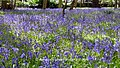 Bluebells Carpeting an English Woodland (34146513185).jpg