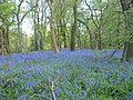 Bluebells at Parrot's Drumble - geograph.org.uk - 793882.jpg
