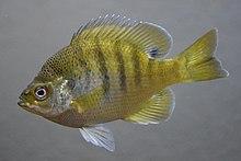 Bluegill (fish).jpg