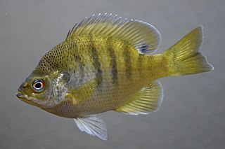 Bluegill species of fish