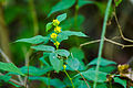 Bluestem goldenrod (24689537580).jpg