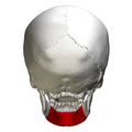Body of mandible - skull - posterior view.png