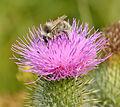 Bombus veteranus - Cirsium vulgare - Keila2.jpg