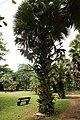 Borassius aethiopum 07.jpg