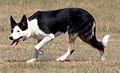 Border collie of nonstandard appearance.jpg