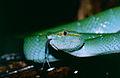 Bornean Keeled Green Pit Viper (Tropidolaemus subannulatus) (14183005061).jpg