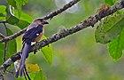Фотография очень длиннохвостой коричневой птицы с черными крыльями и хвостом, сидящей на ветке.