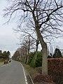 Bornem Bovenstraat Lindenrij (3) - 236177 - onroerenderfgoed.jpg