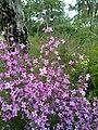 Boronia ledifolia 2.jpg