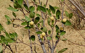 Description de l'image Boscia senegalensis fruits.jpg.