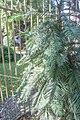 Botanical Garden, Budapest, Wollemi pine, 2013-09-07-3.jpg